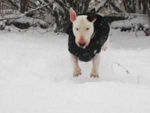 Na izbiro pasje obleke vpliva tudi aktivnost psa